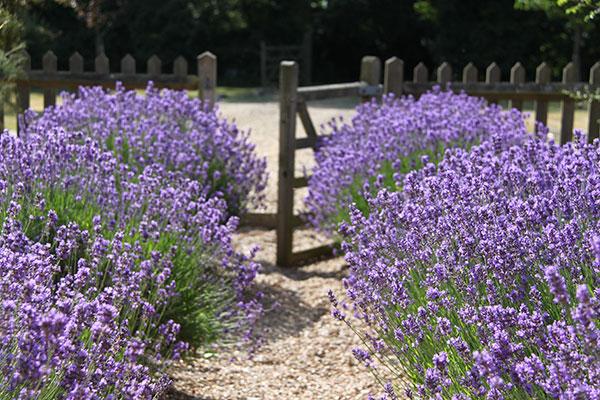 Lavender - NJP BoxGreen